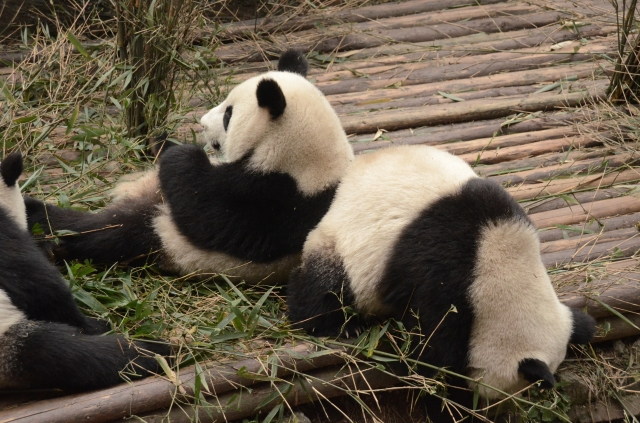 Panda leaning on friend