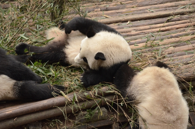 Panda leaning on friend that suddenly leaves