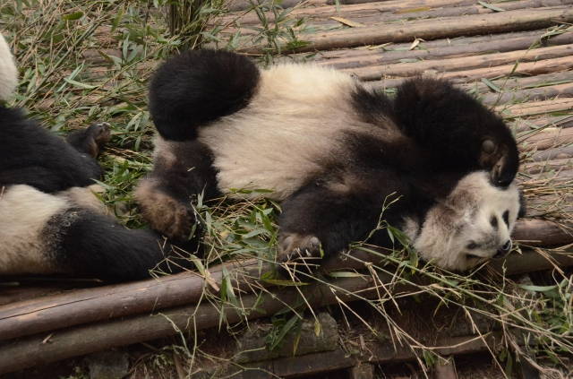 Panda lying on its back